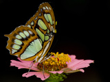 A Malachite Butterfly  Siproeta Stelenes  Perching on a Flower