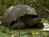 A Wild Galapagos Giant Tortoise  Chelonoidis Nigra Porteri  Eating