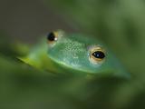 Glass Frog  Hyalinobatrachium Ruedai  on a Bromeliad Plant