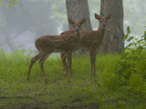 White-Tailed Deer Fawns  Odocoileus Virginianus  in a Misty Forest