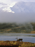 A Caribou  Rangifer Tarandus  in Denali National Park
