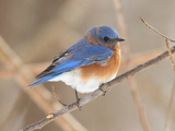 An Eastern Bluebird  Sialia Sialis  Perched on a Twig