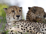 A Pair of Cheetahs  Acinonyx Jubatus  Resting