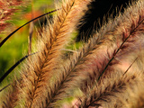 Close Up of Ornamental Grasses Backlit by the Late Afternoon Sun