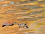 Leaves Float on the Rippling Surface of a Pond with Autumn Reflectios