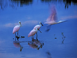 Roseate Spoonbills Line Up to Take Flight from Twilight Waters