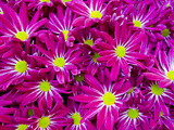 A Mass of Day-Glow Pink and Yellow Flowers at a Spring Exhibit