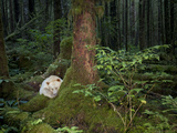 A Kermode Bear Settles into a Mossy Bed at the Foot of a Red Cedar