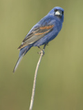 Male Blue Grosbeak  Guiraca Caerulea  in Breeding Plumage