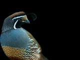 A California Quail  Callipepla Californica