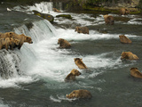 Many Brown Bears Congregated to Feed on Salmon