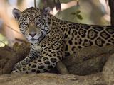 Jaguar  Panthera Onca  Resting in the Shade