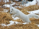 An Arctic Fox  Vulpes Lagopus  Hunting in Brown Grasses