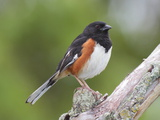 Male Eastern Towhee  Pipilio Eurythrophthalmus  on a Branch