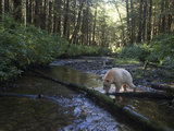 A Kermode or Spirit Bear Fishes for Salmon