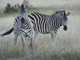 Portrait of a Pair of Zebras  Equus Species  in a Grassland