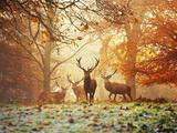 4 cerfs rouges (Cervus Elaphus) dans une forêt en automne  Papier Photo par Alex Saberi