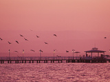 A Flock of Birds Fly around a Fishing Pier During a Pink Sunset
