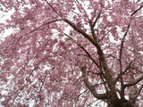 Weeping Higan Cherry Tree  Prunus Subhirtella  in Bloom in Spring