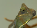 Close Up of a Veiled Chameleon  Chamaeleo Calyptratus