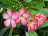 Desert Rose Blossoms are Vibrantly Set Off Against Green Leaves