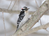 A Downy Woodpecker  Picoides Pubescens  on a Snowy Tree Branch