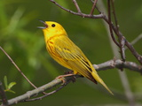 A Male Yellow Warbler  Dendroica Petechia  Singing a Territorial Song