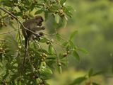 Long-Tailed Macaque  Macaca Fascicularis  Eating a Strangler Fig