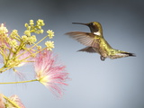 A Male Ruby-Throated Hummingbird Feeding on Mimosa Flowers