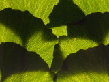 An Arrangement of Ginkgo Leaves  Ginkgo Biloba