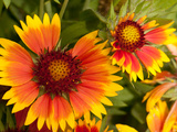 Close Up of Blanket Flowers  Gaillardia Species