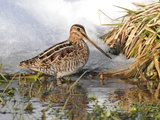 A Common Snipe  Gallinago Gallinago  in a Puddle of Snow Melt