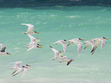 Great Crested Terns Soar Off the Coast of Socotra Island