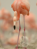 A Caribbean Flamingo with Chick in a Breeding Colony