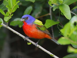 A Male Painted Bunting  Passerina Ciris  Perched  Listening for Song