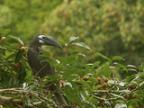 Bushy-Crested Hornbill  Anorrhinus Galeritus  in Strangler Fig Tree