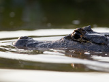 A Partially Submerged Spectacled Caiman  Caiman Crocodilus Corcodilus