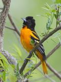 A Baltimore Oriole  Icterus Galbula  Perched in a Tree