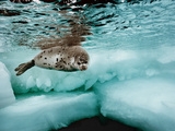 A Harp Seal Swimming in Ice-Filled Water