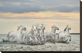 Camargue Horses - France