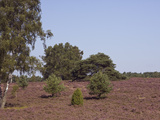 Landscape with Flowering Heather Calluna Vulgaris