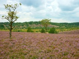 Luneburg Heath