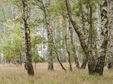 Birch Forest in Autumn