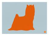 Yorkshire Terrier Orange