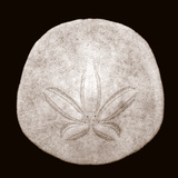 Sand Dollar - Duotone