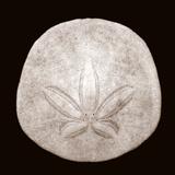 Sand Dollar - Duotone