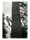 Logger Climbing Tree  ca 1947