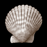 Seashell - Duotone