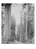 Cedar Trees  Clearwater  WA  1936