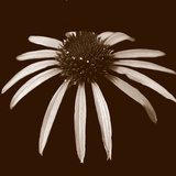 Cone Flower Duotone